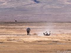 Zebra, Ngorongoro, Tanzania (Amdelsur) Tags: zebredeburchell tanzanie continentsetpays caldeiradungorongoro afrique africa cebra equusburchellii equusquagga ngorongorocaldera pundamilia tz tza tanzania zebra zèbredesplaines régiondarusha