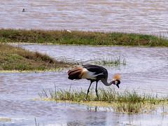 Grey Crowned Crane , Ngorongoro, Tanzania (Amdelsur) Tags: tanzanie grueroyale continentsetpays caldeiradungorongoro afrique africa balearicaregulorum greycrownedcrane grullacoronadacuelligrís ngorongorocaldera tz tza tanzania régiondarusha