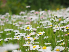 Daisy Field (oneofmanybills) Tags: daisy garden meadow roundhay leeds flowers nature olympus