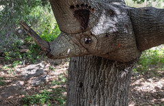 PEDB20190529-036 (EricBier) Tags: 20190529missiontrailspark animal artwork biological category event hike missiontrailspark notripod oakcanyontrail photographyprocedure place plantae rhinocerous trail tree sandiego 92071 unitedstates