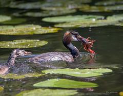 Papa mit Flusskrebs (wernerlohmanns) Tags: wasservögel wildlife outdoor natur nikond750 nabu nsg naturpark nachwuchs haubentaucher schärfentiefe sigma150600c