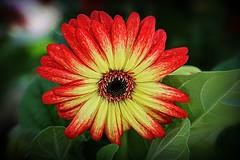 Gerbera Daisy (robtm2010) Tags: flower northattleboro massachsuetts usa newengland plant briggsnursery daisy gerberadaisy flowers nursery canon canon7d 7d flowerscolors