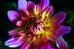 Side-lit Flower (pa_cosgrove) Tags: flower flowers closeup macro sidelit sony a73 purple yellow