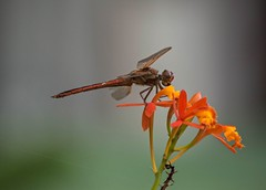 Resting On Radicans (ACEZandEIGHTZ) Tags: dragonfly flyinginsect nature nikon d3200 macro closeup flowers orchid red epidendrumradicans fantasticnature coth alittlebeauty coth5 sunrays5