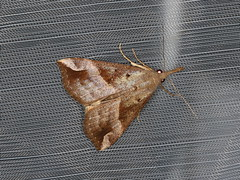 Hypena pelodes (dhobern) Tags: 2019 april australia lamingtonnationalpark lepidoptera queensland erebidae hypeninae hypenapelodes