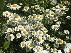 Daisies (echumachenco) Tags: daisy flower petal stem grass green white yellow spring june iphone
