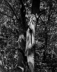 Stanley Burn Woods, Walker Titan SF with Nikkor 210mm, Delta 100 in FX39 (Jonathan Carr) Tags: tree light shadows blackandwhite monochrome woodland landscape rural northeast walkertitansf 4x5 5x4 largeformat