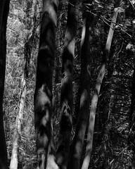 Stanley Burn Woods, Walker Titan SF with Rodenstock Geronar 300mm, Delta 100 in FX39 (Jonathan Carr) Tags: tree light shadows blackandwhite monochrome woodland landscape rural northeast walkertitansf 4x5 5x4 largeformat