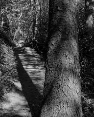 Stanley Burn Woods, Walker Titan SF with Rodenstock Sironar N 150mm, Delta 100 in FX39 (Jonathan Carr) Tags: tree light shadows blackandwhite monochrome woodland landscape rural northeast walkertitansf 4x5 5x4 largeformat