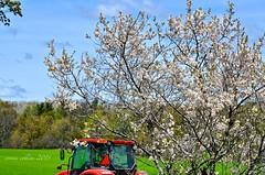 May 29 tractor & cherry blossoms (Basildon Kitchens) Tags: princeedwardcounty spring tractor cherryblossoms red ploughing plowing