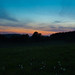 Dandelions in the evening