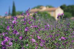 Au pied des Ensérunes (mylepat34) Tags: fleurs flowers spring nissan nissanlezensérunes hérault occitanie france ensérunes mauvesylvestre canaldumidi