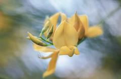 Spring Colors and Scents (pasquale di marzo) Tags: flower fiore ginestra colori profumi primavera esterno colore macro 2019