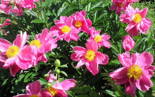 Moscow, The Luxuriant Scrub of the Pink Peonies in bloom near the Cathedral of the Nativity of the Blessed Virgin Mary of the Conception Convent (Zachatyevsky Monastery), Khamovniki district.