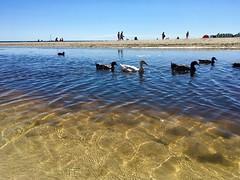 Swim and walk (bornschein) Tags: earth eu europa spain spanien people sea water bird duck