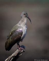 Hadeda Ibis (leendert3) Tags: leonmolenaar wildlife southafrica krugernationalpark naturereserve naturalhabitat animals birds hadedaibis ngc npc naturethroughthelens