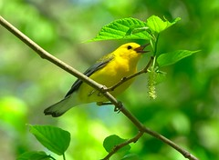 Prothonatary Warbler (Feathered Trail Photos) Tags: prothonotary warbler tennessee nature bird radnorlake