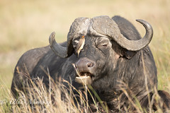 Cape Buffalo with Ox pecker (mayekarulhas) Tags: capebuffalo oxpecker masaimara wildlife wild kenya safari