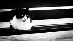 Mirada felina. (Ricardo Pallejá) Tags: cat gato naturaleza nikon d500 mascota pet monocromo monocromático blancoynegro bw blackandwhite felino street urbana urban urbanexploration light feline look