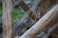 San Diego Zoo 2018 (grimneko) Tags: anyvision ca california labels leopard raubkatze raubtier sandiego säugetier tier usa ungesättigt unitedstatesofamerica z grau zoo geo:lat=32736721666667 camera:model=canoneos7dmarkii camera:make=canon exif:lens=efs55250mmf456isii geo:lon=11714957166667 geo:country=usa geo:state=california geo:city=sandiego exif:aperture=ƒ50 exif:focallength=135mm exif:model=canoneos7dmarkii geo:location=zoodrive exif:isospeed=2000 exif:make=canon