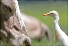 Héron garde-boeufs et vache - Cattle egret and cow (Bubulcus ibis) (Man - Photo Nature) Tags: héron hérongardeboeufs vache bubulcusibis ardeidae cattleegret egret oiseau aves bird cow