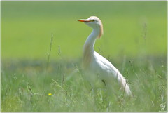 Héron garde-boeufs - Cattle egret (Bubulcus ibis) (Man - Photo Nature) Tags: héron hérongardeboeufs vache bubulcusibis ardeidae cattleegret egret oiseau aves bird cow