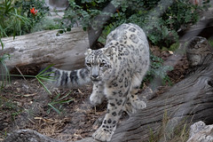 San Diego Zoo 2018 (grimneko) Tags: anyvision ca california labels leopard raubkatze raubtier sandiego säugetier tier usa ungesättigt unitedstatesofamerica z grau zoo geo:lon=11714956666667 camera:model=canoneos7dmarkii camera:make=canon exif:lens=efs55250mmf456isii geo:state=california geo:country=usa geo:city=sandiego geo:lat=32736795 exif:focallength=131mm geo:location=zoodrive exif:model=canoneos7dmarkii exif:isospeed=1600 exif:aperture=ƒ50 exif:make=canon