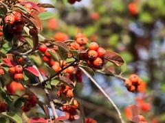 Cotoneaster (Cotoneaster lacteus). (Andres Bertens) Tags: 8529 olympusem10markii olympusomdem10markii olympusm75300mmf4867ii olympusmzuikodigitaled75300mmf4867ii rawtherapee cotoneaster plant