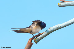 Barn Swallow Pruning (raven fandango) Tags: pruning barn swallow swallows british birds bird birding blue britain countryside canon eos england english garden hertfordshire herts farm life nature may 2019 7d mkii 100400 400mm photography photo photos perched perching red sky spring uk united kingdom wildlife wild
