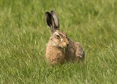 Brown Hare - Lepus europaeus (Gary Faulkner's wildlife photography) Tags: brownhare lepuseuropaeus
