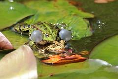 Keep close... (ryorii) Tags: frog frogs rana rane stagno pond isolamadre lagomaggiore piemonte italia italy