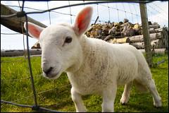 Wee Lamb (1875Brian) Tags: northcoast500 nc500 northcoast scotland scottish scottishscenery roadtrip highlands scottishhighlands motorhome holiday holidays vacation vacations canon canon7d canoneos canon1755mmf28 lamb weelamb farm nature animal