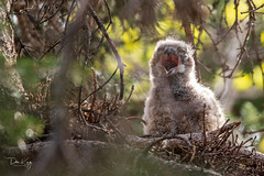 Big Yawn (Dan King Alaskan Photography) Tags: greathornedowl bubovirginianus chick owl nest avian birdsofprey protectwildlife preservewilderness canon80d sigma150600mm