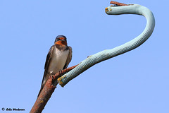 Barn Swallow taking a break (raven fandango) Tags: barn swallow swallows british birds bird birding blue britain countryside canon eos england english garden hertfordshire herts farm life nature may 2019 7d mkii 100400 400mm photography photo photos perched perching red sky spring uk united kingdom wildlife wild