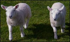 Lambs (1875Brian) Tags: northcoast500 nc500 northcoast scotland scottish scottishscenery roadtrip highlands scottishhighlands motorhome holiday holidays vacation vacations canon canon7d canoneos canon1755mmf28 lamb lambs farm farmlife farmer sheep