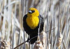 Yellow-headed Blackbird (Patricia Henschen) Tags: colorado rural countryside country sanluisvalley alamosanationalwildliferefuge nationalwildliferefuge alamosacolorado alamosa backroads backroad clouds mountains mountain bird birds yellowheadedblackbird songbird
