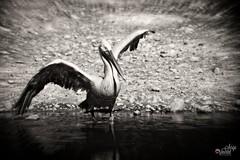 Majestic pelican (Sera69) Tags: oiseaux parc dombes rhônealpes ain ciel ailes plumes nature animaux vol vole volant
