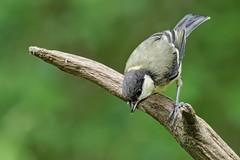 _IMG2388_DxO- on1 (douglasjarvis995) Tags: great tit bird wild wildlife brighouse cromwell bottom