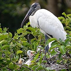 Wood Stork and the next generation! (jungle mama) Tags: woodstork stork nest nextgeneration black white feather hatching babies beak wakodahatcheewetlandsdelraybeachfl wakodahatchee susanfordcollins coth5