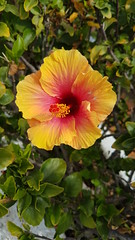 Orange / yellow (need my eyes checked) Hibiscus (Canada.Moose) Tags: hibiscus hibisco flower flor blume fleur tropics canaryislands kanarischeinseln islascanarias grancanaria nature botany