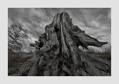 Boswachterij Dorst (cees van gastel) Tags: ceesvangastel canoneos550d sigma1020mm stumps boomstronken treestumps landscape landschap boswachterijdorst bomen natuur nature natuurgebied luchten skies wolkenlucht wolken clouds