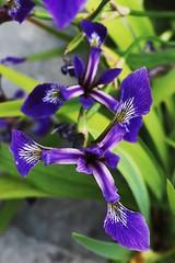 Iris kaempferi (just.Luc) Tags: purple paars mauve flower bloem fleur blume pflanz plant plante nature natuur flora flore