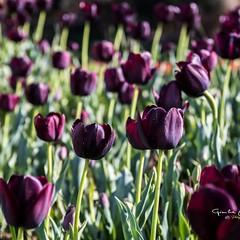 #tulipani (Gianluca.Mungianu) Tags: tulipani