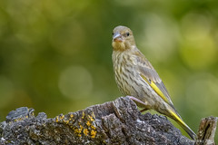Giovane Verdone, Juvenile Greenfinch (Ciminus) Tags: naturesubjects chlorischloris ornitology nikond500 ciminus birds verdone ciminodelbufalo juvenile afsnikkor300mmf28gedvrii greenfinch wildlife oiseaux garden uccelli ornitologia nature