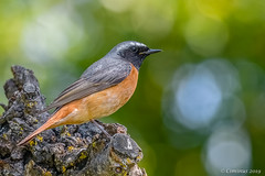 Phoenicurus Phoenicurus, Codirosso, Redstart (M). (Ciminus) Tags: redstart aves ornitologia nature ciminus birds ciminodelbufalo phoenicurusphoenicurus codirosso wildlife garden oiseaux ornitology naturesubjects uccelli nikond500 afsnikkor300mmf28gedvrii