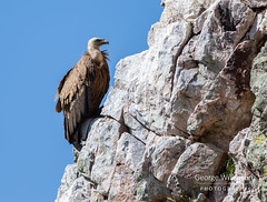 Griffon Vulture (Gyps fulvus) (George Wilkinson) Tags: torrejónelrubio cáceresprovince spain