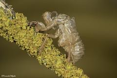 Exuvia de cigarra | Cicadia Exuviae (Fernando Delgado) Tags: cicadia exuvia exuviae cigarra insecto insect insectos arthropoda hemíptero macro macrophoto macrodreams algarve portugal