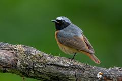 Redstart (Simon Stobart) Tags: redstart male phoenicurus north east england uk