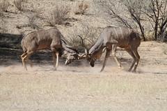 Kudus - Kgalagadi Transfrontier Park - September 2017 (Massai_1) Tags: kgalagadi transfrontier park kalahari kudu