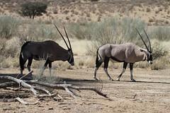 Oryx / Gemsbok- Kgalagadi Transfrontier Park - September 2017 (Massai_1) Tags: transfrontier park kalahari kgalagadi oryx gemsbok